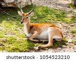 the gazelle lies on the lawn. | Shutterstock . vector #1054523210
