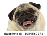portrait of pug dog isolated on ... | Shutterstock . vector #1054567373