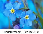 Macro Of Forget Me Not
