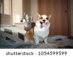 corgi puppy on the bed.   | Shutterstock . vector #1054599599
