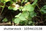 creeping lady's sorrel  oxalis  ...   Shutterstock . vector #1054613138