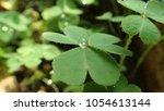 creeping lady's sorrel  oxalis  ...   Shutterstock . vector #1054613144