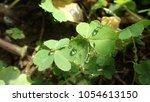 creeping lady's sorrel  oxalis  ...   Shutterstock . vector #1054613150