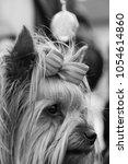 dog breed yorkshire terrier... | Shutterstock . vector #1054614860