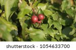 Tiny Red Wild Apple Grows On A...
