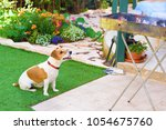 cute hungry jack russell dog... | Shutterstock . vector #1054675760