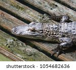 Alligator Resting On Wet Wooden ...