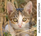 Stock photo cute nosy cat kitten patched tabby and white fur sitting among withered grass a close up 1054720964