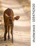 Indian Bison Calf