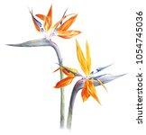 Bird Of Paradise   Strelitzia ...