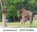 newborn or baby giraffe drinks... | Shutterstock . vector #1054764806