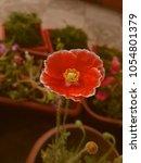 red flower background for card... | Shutterstock . vector #1054801379