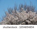 cherry blossom. sakura   Shutterstock . vector #1054854854
