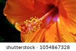 Stock photo close up of orange chinese rose flower hawaiian hibiscus that grown in a public garden park 1054867328