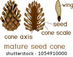 structure of mature seed cone... | Shutterstock .eps vector #1054910000