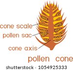 structure of male pollen cone... | Shutterstock .eps vector #1054925333