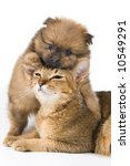 Stock photo the puppy of the spitz dog with a cat 10549291