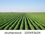 soybean field with rows of soya ... | Shutterstock . vector #105493634