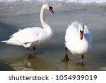 wild bird river swan | Shutterstock . vector #1054939019