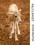 Small photo of Newborn baby Addax Antelope alf standing in dirt