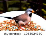 the long tailed finch ...   Shutterstock . vector #1055024390