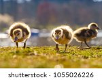Ducklings On Grass
