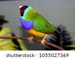 the gouldian finch  erythrura... | Shutterstock . vector #1055027369