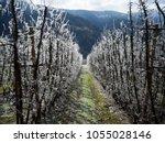 Frozen Trees Despite First...