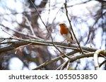 european robin  erithacus...   Shutterstock . vector #1055053850