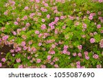 light pink rose geranium or... | Shutterstock . vector #1055087690