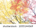 beautiful red maple leaves and... | Shutterstock . vector #1055144369