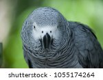 Small photo of parrot African gray