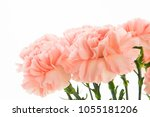 happy mother's day  carnations... | Shutterstock . vector #1055181206