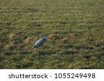 gray heron with prey in its beak | Shutterstock . vector #1055249498