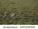 gray heron with prey in its beak | Shutterstock . vector #1055249504