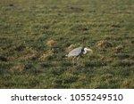 gray heron with prey in its beak | Shutterstock . vector #1055249510
