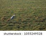 gray heron with prey in its beak | Shutterstock . vector #1055249528