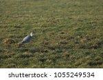 gray heron with prey in its beak | Shutterstock . vector #1055249534