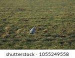gray heron with prey in its beak | Shutterstock . vector #1055249558