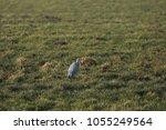 gray heron with prey in its beak | Shutterstock . vector #1055249564