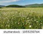 spring daisy flowers  in meadow....   Shutterstock . vector #1055250764