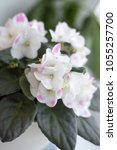 Small photo of African violet fantastic white profusely blooming