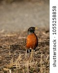 Small photo of American robin in the wild