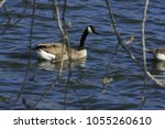 a shot of a canadian goose with ... | Shutterstock . vector #1055260610