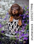 Stock photo dachshund puppy brown tan color 1055277998
