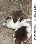 Small photo of Two brown and white color of duckling laying down on the floor. It is a waterbird with a broad blunt bill, short legs, webbed feet, and a waddling gait.