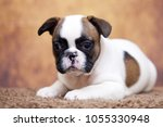 puppy of the french bulldog   Shutterstock . vector #1055330948