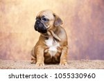 puppy of the french bulldog   Shutterstock . vector #1055330960