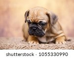 puppy of the french bulldog   Shutterstock . vector #1055330990