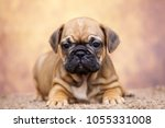 puppy of the french bulldog   Shutterstock . vector #1055331008